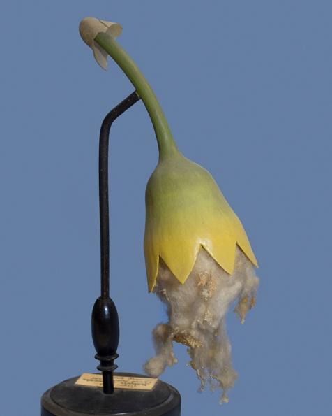 #144 Marchantia polymorpha, Reifes Sporangium